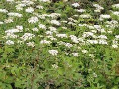 kruid wat geen onkruid is Geraniums, Plants, Plant, Planets