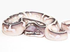 Calico Lesser Pastel - Morph List - World of Ball Pythons Pretty Snakes, Beautiful Snakes, Animals Beautiful, Cute Reptiles, Reptiles And Amphibians, Dream Snake, Rare Animals, Strange Animals, Milk Snake