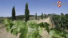 The vineyards in Tuscany