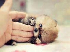 A cute little teacup Pomeranian