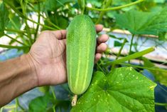 Cucumber, Vegetables, Flowers, Plants, Nap, Gardening, Lawn And Garden, Vegetable Recipes, Plant