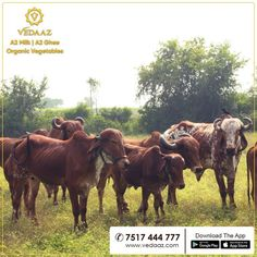 We are Pune's Milk Brand. Our milk is organic milk from desi cows. We deliver farm fresh organic vegetables at your doorstep in the morning. Cow Ghee, Milk Brands, Wild Forest, Organic Vegetables, Cows, Sunlight, Desi, Honey, Girly