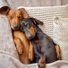 """Explore our site for additional info on """"dachshund puppies"""". It is actually an outstanding place to find out more. Dachshund Breed, Dachshund Love, Daschund, Dachshund Clothes, Dachshund Gifts, Cute Puppies, Cute Dogs, Dogs And Puppies, Teacup Puppies"""