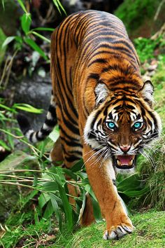 Sumatran tiger Source by luvhdridin Pretty Cats, Beautiful Cats, Animals Beautiful, Animals Images, Cute Animals, Tiger Artwork, Tiger Painting, Tiger Pictures, Tiger Wallpaper