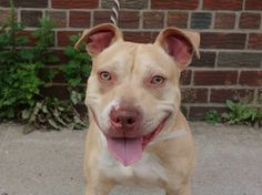 TO BE DESTROYED - 06/18/14 Brooklyn Center -P My name is SANDS. My Animal ID # is A1002304. I am a male tan and white am pit bull ter and bull terrier mix. The shelter thinks I am about 1 YEAR I came in the shelter as a STRAY on 06/06/2014 from NY 11691, owner surrender reason stated was STRAY. https://www.facebook.com/photo.php?fbid=818715934807954set=a.611290788883804.1073741851.152876678058553type=3theater