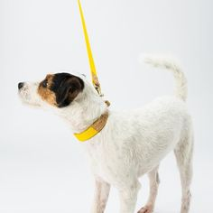 Plato wears our #Dogsnug Yellow Ray of Sunshine Dog Lead and Dog Collar !  Photo by @pkoraca   #superdog #petsofinstaworld #instapup #londondog #patterdaleterrier #patterdale #patterdaleterriersofinstagram #jackrussell #jackrussel  #dogsofinstagram #jackrussellsofinstagram  #jackrusselterrier #puppies #puppy #jackrussellsofig #doggies #whippet #whippets #whippetlove #whippetpuppy #ilovemydog #cooldog #dogcompetition #dogcollar #doglead