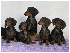 Nice family of dapple dachs living together as a family.. UR Blessed my little angels