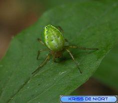 http://faaxaal.forumactif.com/t1049-photos-d-araignees-araignee-courge-epeire-concombre-araniella-cucurbitina-cucumber-green-spider