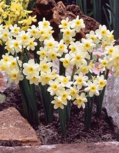 Narcissus Tazetta.  I'd love to have about a million of these in April