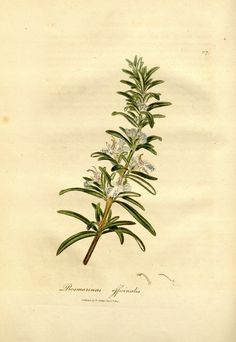 Rosmarinus officinalis L. rosemary Woodville, W., Hooker, W.J., Spratt, G., Medical Botany, 3th edition, vol. 3: t. 117 (1832)