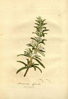 Rosmarinus officinalis L. rosemary Woodville, W., Hooker, W.J., Spratt, G., Medical Botany, 3th edition, vol. 3: t. 117 (1832)
