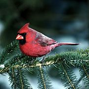 Northern Cardinal. Love these Birds. They say Winter to me, and make it more lovely.