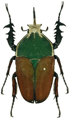 Goliath Beetle (Mecynorrhina ugandensis), from central Africa.