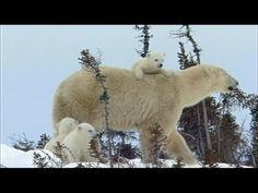 Baby Polar Bears Climbing Outside For First Time