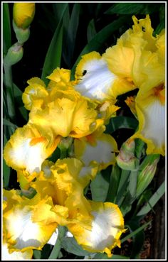 Yellow Iris, one of my favorite flowers, and this variety is so bright and sunny