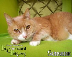 Meet+Sunshine,+a+Petfinder+adoptable+Domestic+Short+Hair+Cat+|+Akron,+OH+|+Note:++Please+keep+in+mind+that+all+adoptable+pets+need+time+to+decompress+once+they+enter+a+home.+...
