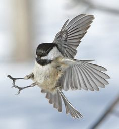 Capped Chickadee Landing of Black- Capped Chickadee Black Capped Chickadee, Black And White Birds, Tag Image, Kinds Of Birds, Beautiful Birds, Floral Watercolor, Gallery, Drawings, Artwork