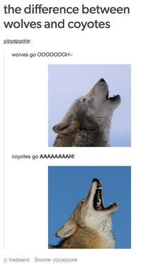 The Best Funny Pictures Of Today's Internet RuinMyWeek.com #funny #pictures #photos #pics #humor #comedy #hilarious #joke #jokes #wolves #wolf #coyote #coyotes #animals