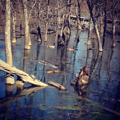 The Heard wetlands are full of life.  Look at the little turtle!  #turtle #turtles #goose #geese #canadagoose #heardmuseum #Texas #nature #naturelovers #nuts_about_birds #heardtexas #heardmuseummckinney #wetlands