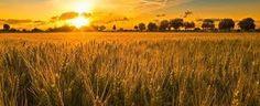 Risultati immagini per campi di grano