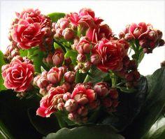La fioritura ricca e compatta della kalanchoe, in questo caso di un bel rosa intenso