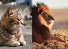 岩合光昭さんがネコとライオンに焦点を当てた写真展が福岡三越で行われます 2017年8月8日(火)から2017年8月21日(月)より作品が展示されます ネコとライオンって同じネコ科なのにこんなにも違うのか また似ている点もあって猫好きなら必見です 愛嬌あるネコと野生のライオンを是非ご自身の目で比べてみて下さい  #岩合光昭 #岩合光昭写真展ネコライオン #福岡三越 #三越ギャラリー tags[福岡県]