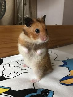 My hamster used to look just like this Cute Small Animals, Cute Baby Animals, Animals Beautiful, Animals And Pets, Funny Animals, Hamster Pics, Bear Hamster, Hamster Care, Cute Animal Memes