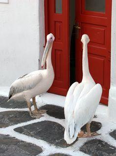 Petros was a great white pelican, who was the official mascot of the Greek island of Mykonos. Santorini, Mykonos Greece, Beautiful Birds, Beautiful Places, Myconos, Mykonos Island, Going Home, Greece Travel, Greek Islands
