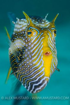 Ornate Cowfish. Australia