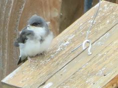 Baby Tree Swallow made his escape to sun himself.