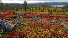 Ground autum colors in Lapland by Risto Keränen on Lapland Finland, Scandinavian Countries, Lappland, Autumn Cozy, Autumn Fall, Nature Pictures, Where To Go, Geocaching, Natural Beauty