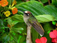 Blossom -crown, Hummingbird.  (Anthocephala floriceps)