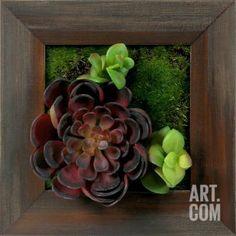 *Exclusive* Grayson Burgundy Echeveria Square Dimensional Product at Art.com