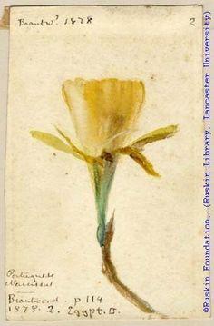 John Ruskin, Portuguese Narcissus, 1878, RF1446-1 © Ruskin Foundation