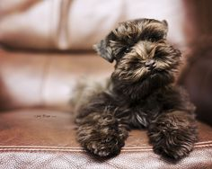 Miniature Schnauzer Colors | Recent Photos The Commons Getty Collection Galleries World Map App ...