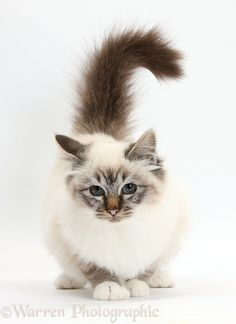 Tabby-point Birman