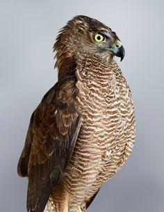 'Trinity' (Brown Goshawk)  Beautiful Portraits Of The Wild Birds Of Australia Reveal Their Expressive Faces