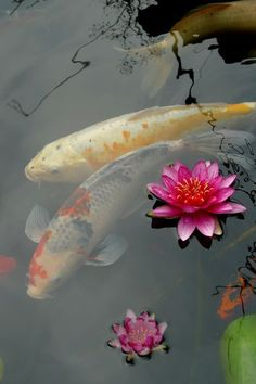 "Koi fish are the domesticated variety of common carp. Actually, the word ""koi"" comes from the Japanese word that means ""carp"". Outdoor koi ponds are relaxing. Koi Fish Pond, Koi Carp, Fish Ponds, Japanese Koi, Japanese Gardens, Japanese Dragon, Lily Pond, Backyard Landscaping, Landscaping Ideas"