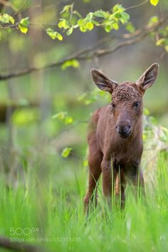 Young moose in the forest by gibsy1 #animals #animal #pet #pets #animales #animallovers #photooftheday #amazing #picoftheday