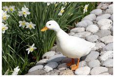american call duck association - Google Search