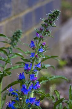 Growing through a crack in the road on the railway bridge over Vicarage Lane, Waterford, Hertfordshire. Growing Flowers, Planting Flowers, Affordable Dentures, British Wild Flowers, Amazing Flowers, Wildflowers, Mother Earth, Fields, Purple