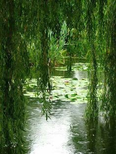 47 Ideas Weeping Willow Tree Photography Nature Ponds For 2019 Willow Tree Wedding, Pond Life, Weeping Willow, Lily Pond, Bonsai Garden, Garden Pond, Seen, Tree Photography, Water Lilies
