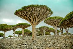 """Socotra Island, Aden, Yemen - """"We were absolutely stunned by the beauty of the… dragon blood trees, cucumber trees and desert rose trees..."""""""