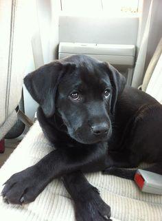 cute black lab puppy face....