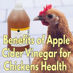 So, what are the benefits of apple cider vinegar for chicken health? At first, I didn't understand what the apple cider vinegar does to chickens. Chicken Garden, Chicken Life, Chicken Chick, Backyard Chicken Coops, Chicken Coop Plans, Chicken Feed, Diy Chicken Coop, Chicken Waterer, Chicken Tractors
