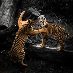 Tiger Cubs playing | by Daphne0507
