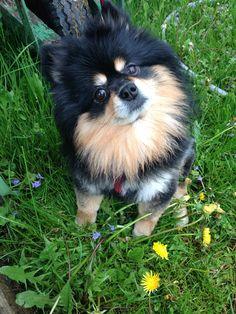 #pomeranians #dogs