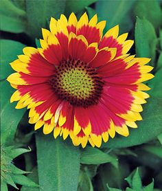 Gaillardia, Arizona Sun = Flowers blanket low-mounded plants. Loves the dry, hot sun. Sun: Full Sun Height: 8-10 inches Spread: 12-15 inches Uses: Beds, Borders, Cut Flowers Bloom Season: Fall, Summer