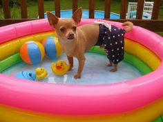 My Chihuahua Loves his swim suit trunks! Chihuahua Facts, Teacup Chihuahua, Chihuahua Love, Chihuahua Puppies, Dogs And Puppies, Chihuahuas, Doggies, Chihuahua Clothes, Funny Dog Memes
