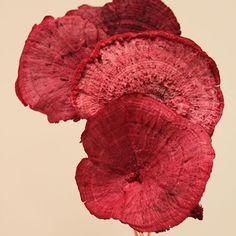 Sponge Mushroom Red Stem, Dried Pod